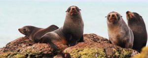 Snorkel Seals Montague Island