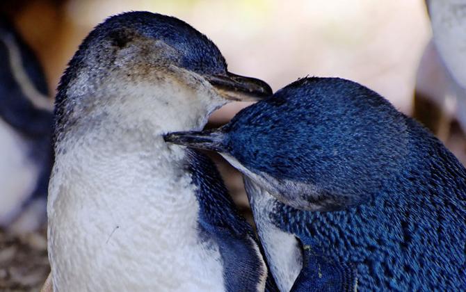 Penguin Tour Montague Island