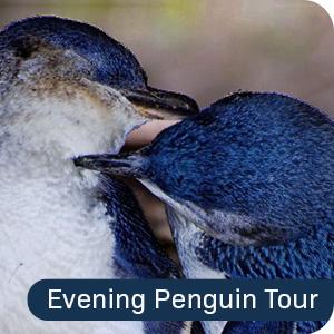 Evening Penguin Tour Montague Island