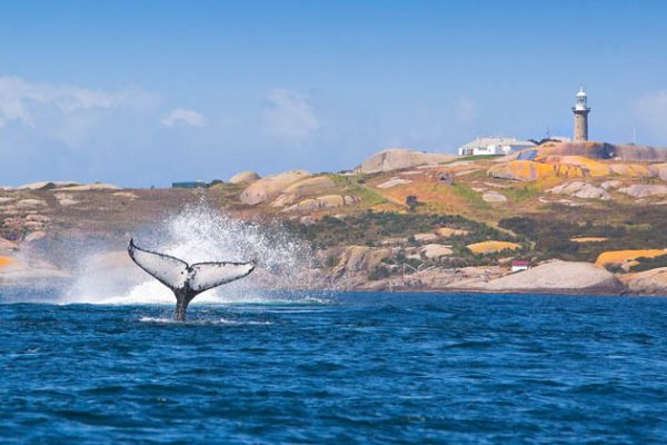 whale jumping montague island